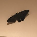 Black Witch Moths Come for a Visit